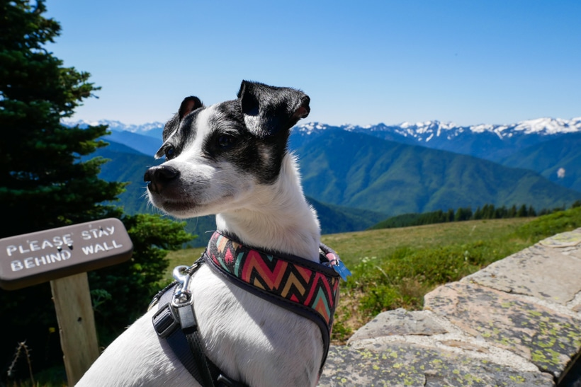 Lily at Hurricane Ridge