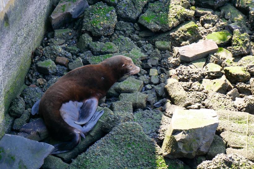 Astoria Oregon Sea Lions